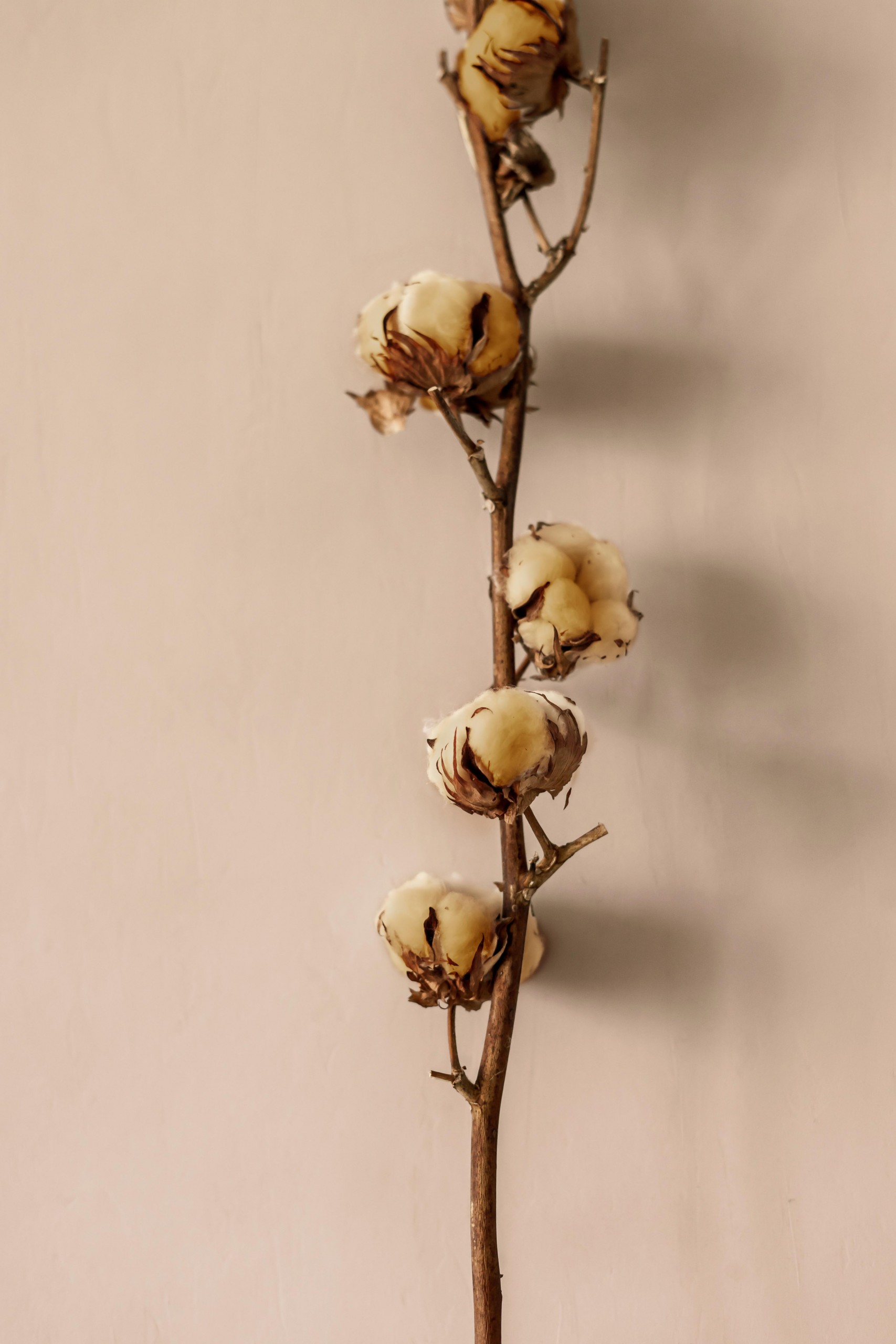 A Dried Cotton Plant On A Beige Background